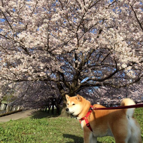 2016まると桜