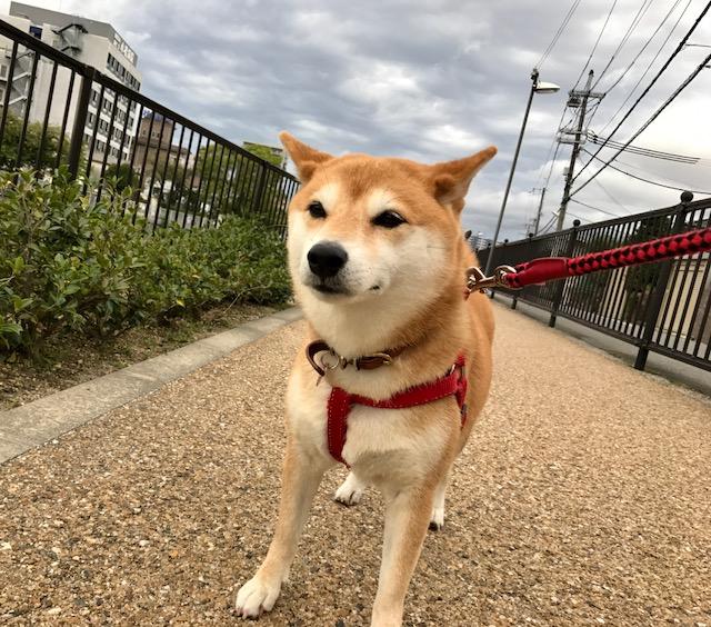 柴犬まるこ 7歳