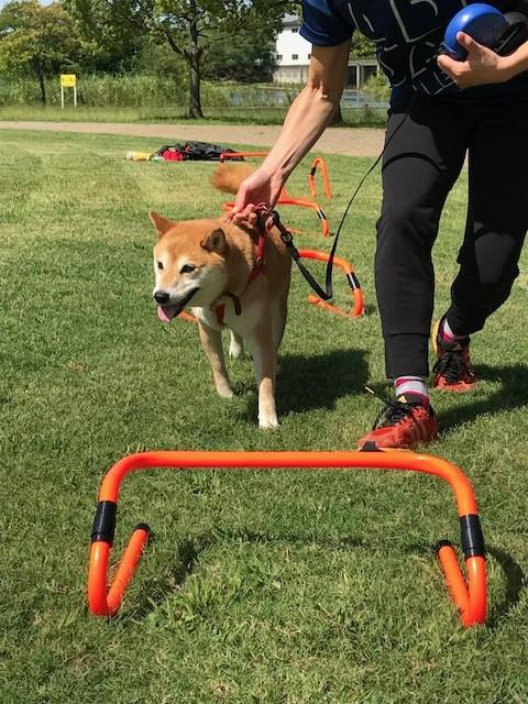 柴犬まるこ7歳 体育の日