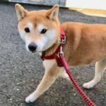 2017秋 柴犬まるこ7歳