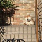 いってらっしゃい!! 柴犬まるこ8歳まであと3日