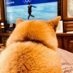 平昌オリンピック 柴犬まるこ7歳