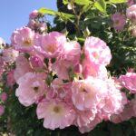 2018中之島公園のバラ