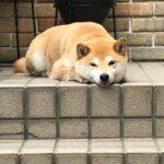 柴犬まるこ 8才