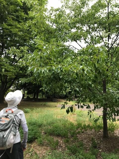 サークルアウリンコ大阪城公園 なんじゃもんじゃ