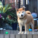 柴犬まるこ8歳