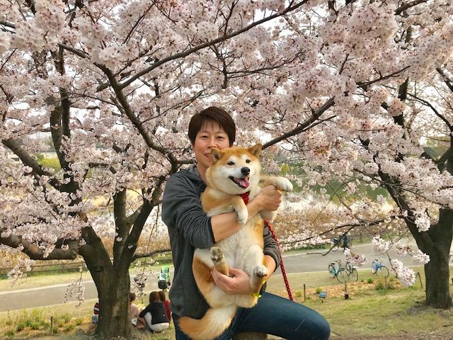 2019桜 柴犬まるこ9歳です