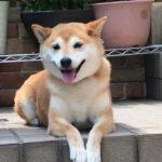 柴犬まるこ9歳 8月