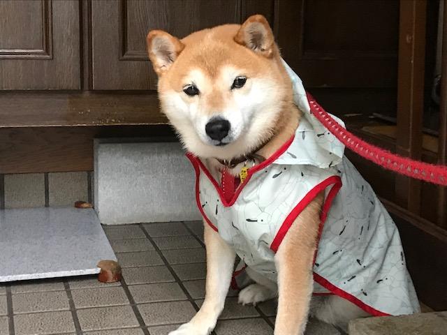 柴犬まるこ 9歳 カッパ