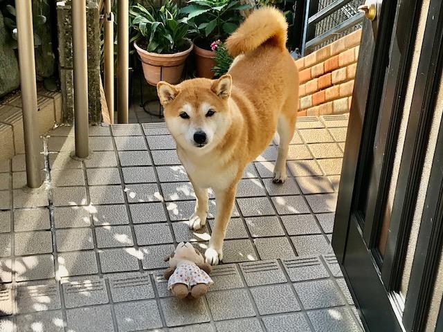 柴犬まるこ9歳 2019.11.2