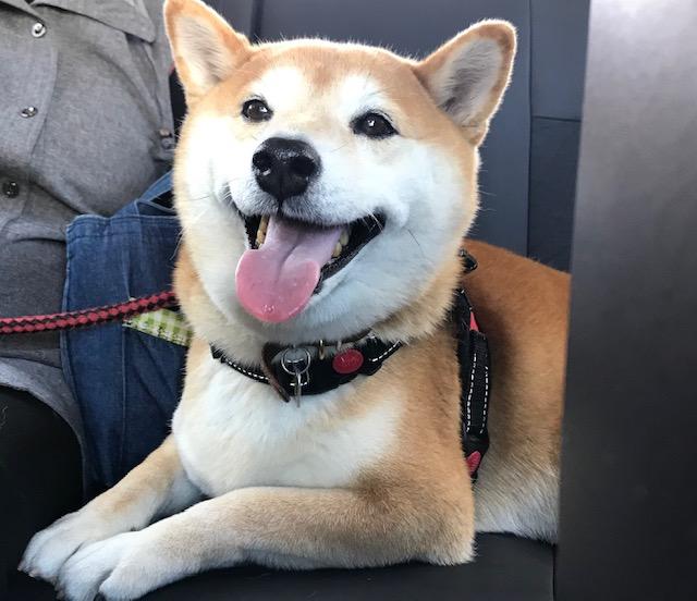 柴犬まるこ9歳