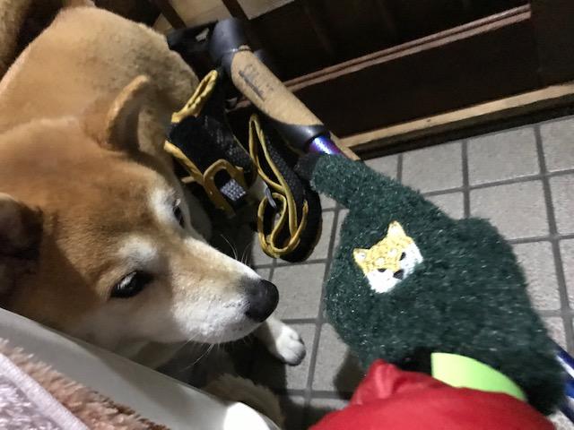 柴犬まるこ9歳 3月