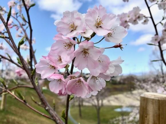 2020.3.29 桜