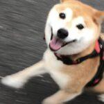 柴犬まるこ10歳7月