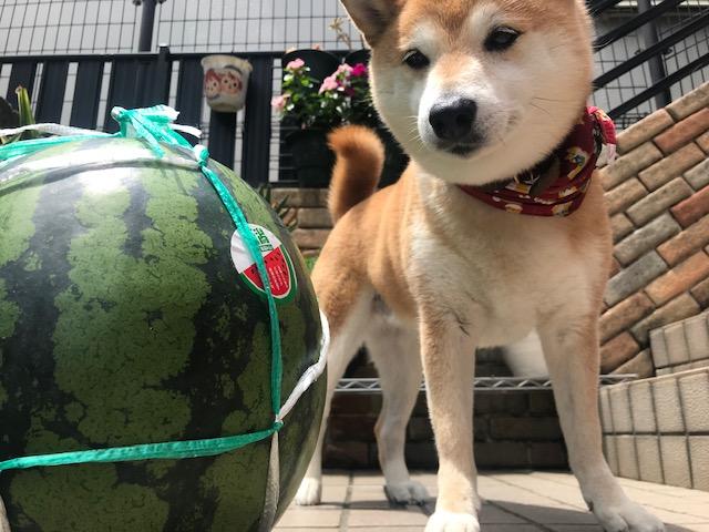 柴犬まるこ10歳 夏 スイカ