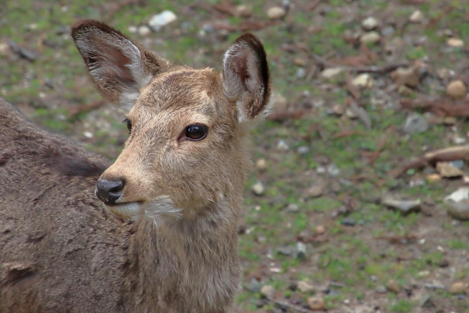 2021年4月18日(日)まるっと奈良deノルディックウォーキングイベント 鹿