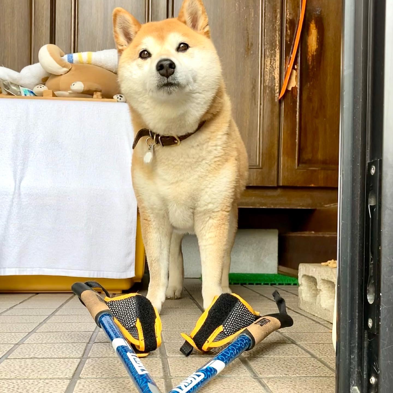 INWA World Nordic Walking Day 柴犬まるこ