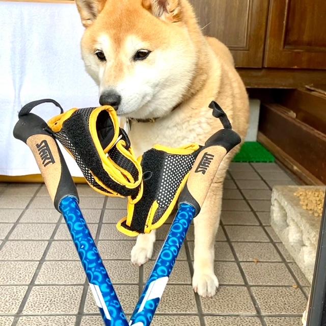 INWA World Nordic Walking Day 20210515 柴犬まるこ